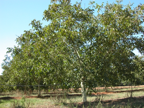Plantació de Hartley de 15 anys a Girona