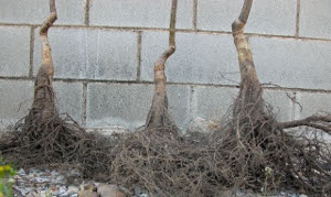 Planta viveo trdicinal : sistema radicular