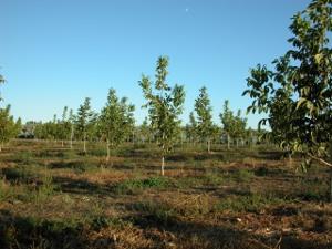 Plantación Chandler de 2 años en plantación de Portugal