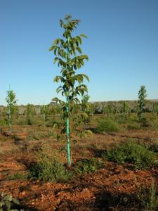 Plantació de Serr d'un any a Portugal